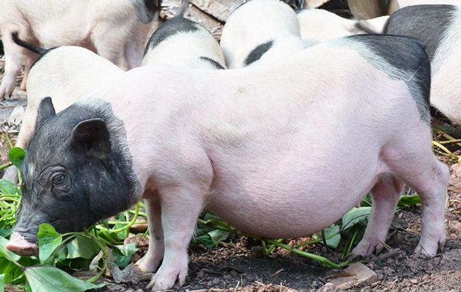 广宁哪里有香猪苗供应商多少钱一只