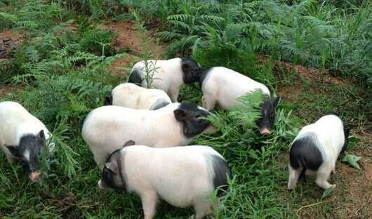 峡江哪里有卖小香猪苗公司求购香猪苗