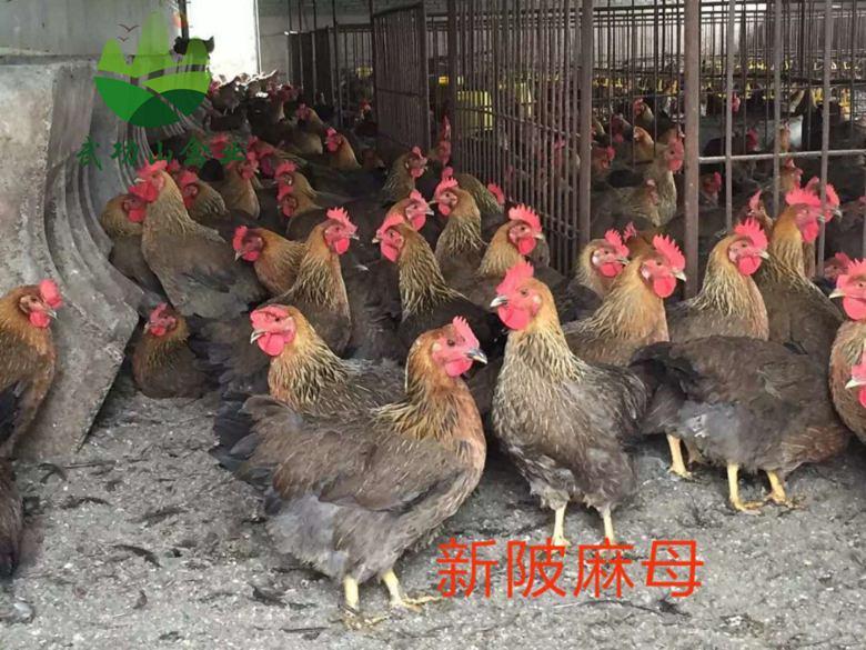武宁县土鸡苗多少钱一只玉山县山鸡养殖视频