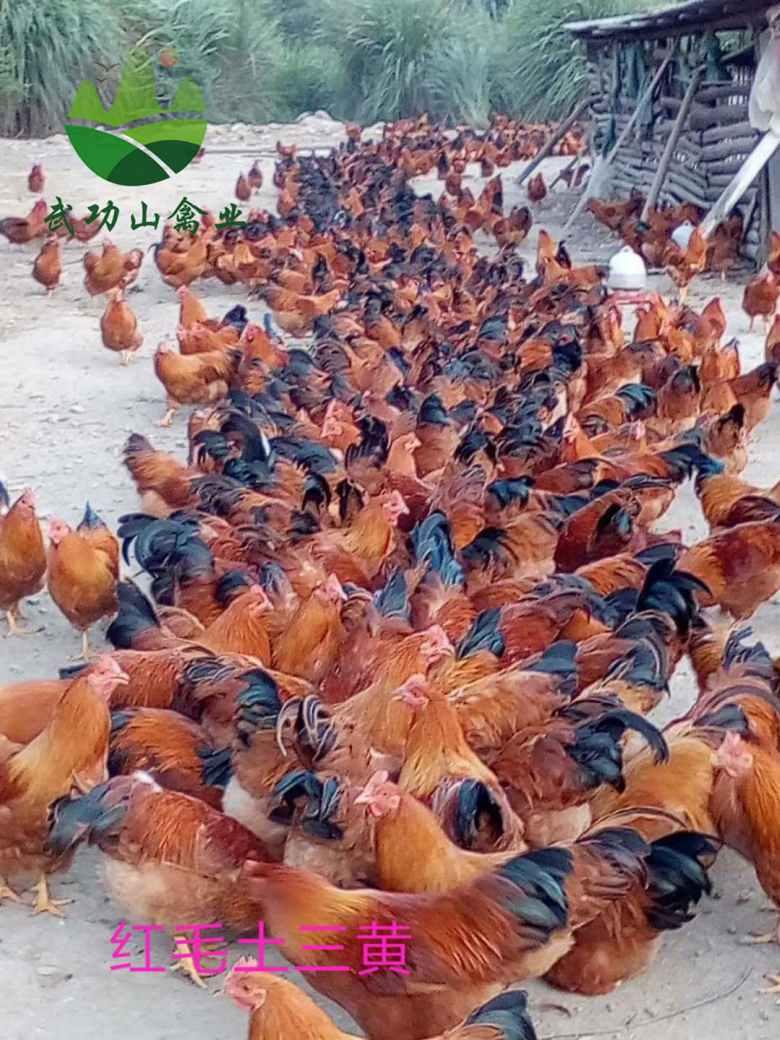 乐安县土鸡苗孵化乐安县贵妃鸡养殖前景