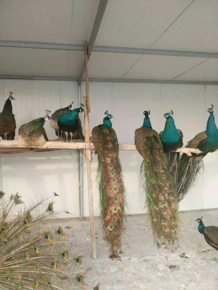 大丰一组蓝孔雀