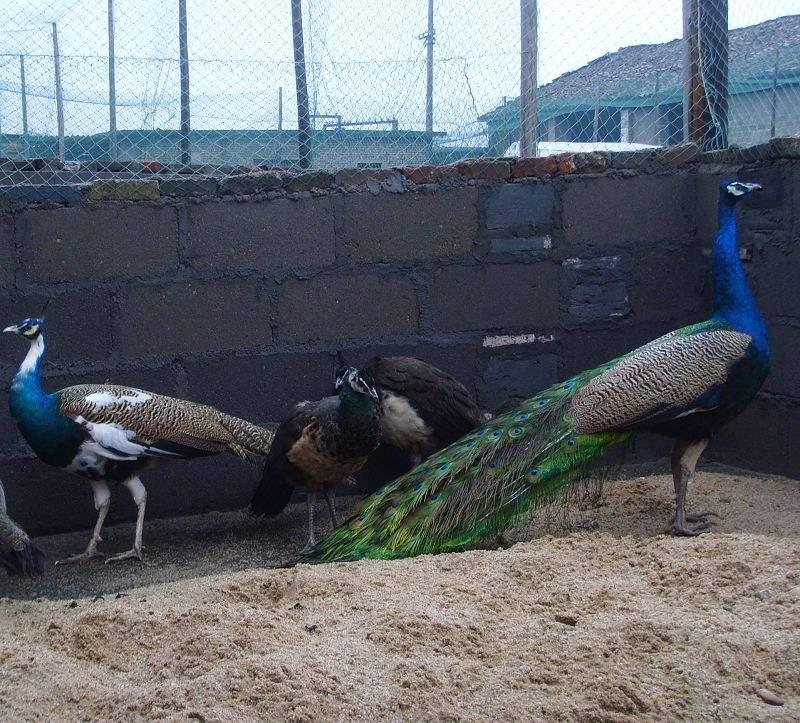 保康观赏孔雀的价格是多少钱一只现在