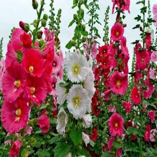 洛阳荷兰菊种子公司