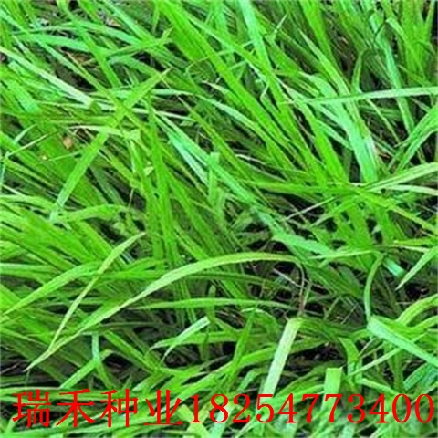 護坡草種子有多少品種綠化花草綠化花草