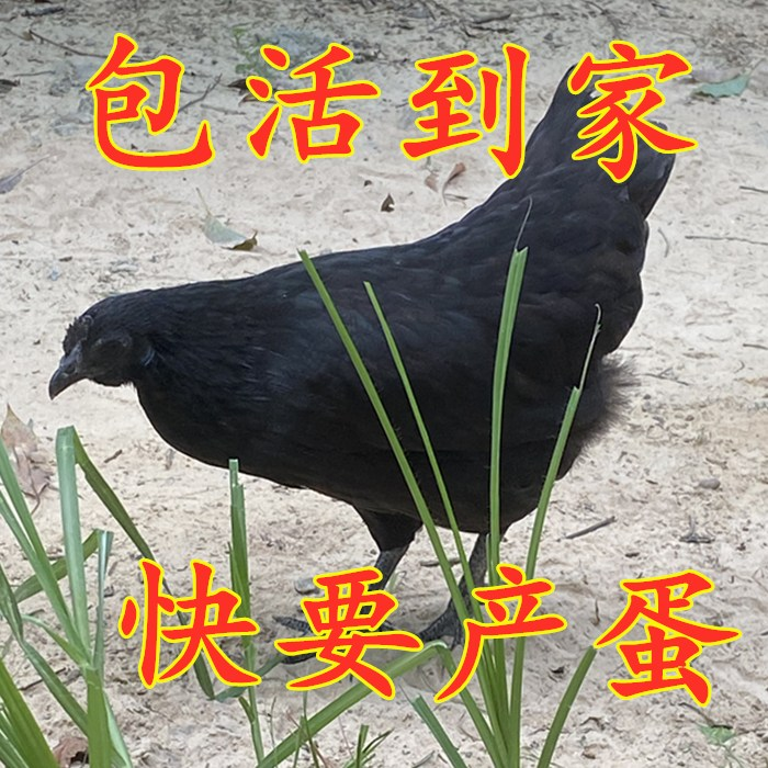富裕散養五黑雞苗價格