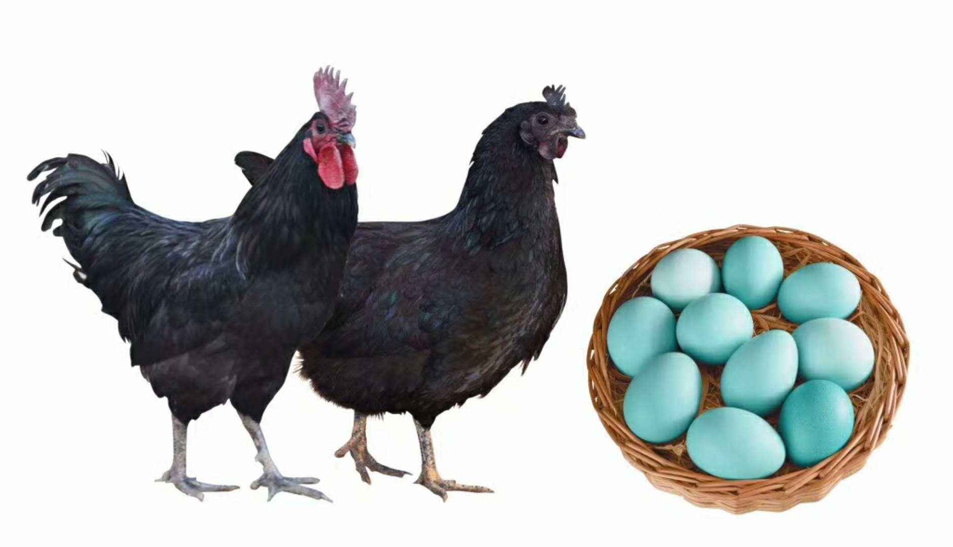 密山繁殖绿壳蛋鸡商品鸡的价格
