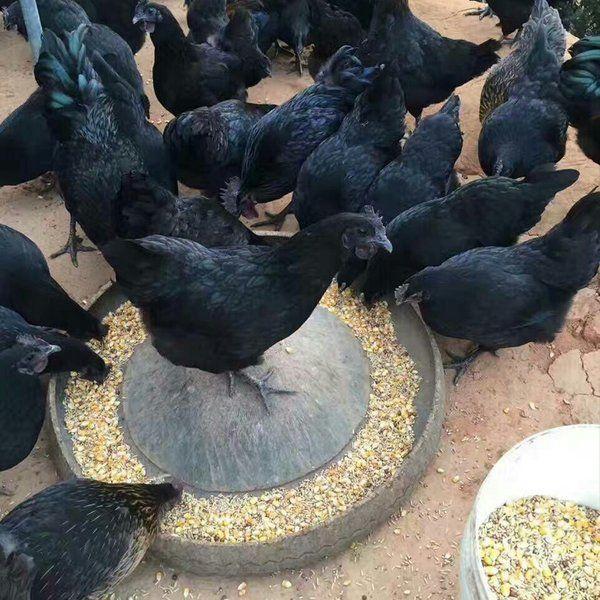 洛江圈养绿壳蛋鸡产蛋的产量