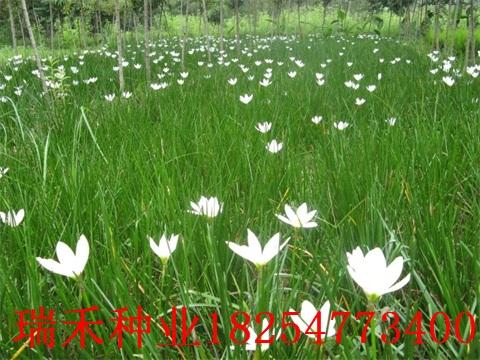 可以做草坪種子的草坪種子有哪些護坡