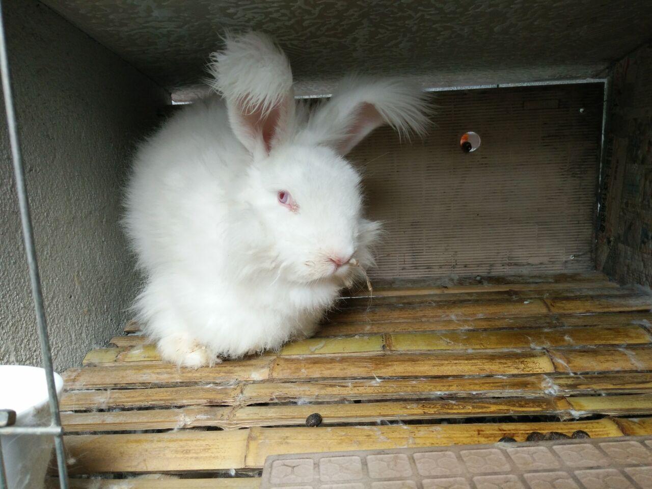 安哥拉兔兔毛价格_承德长毛兔现在价格 长毛兔兔毛价格 哪里有长毛兔养殖场 ...