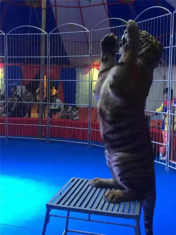 蓝翔海狮表演