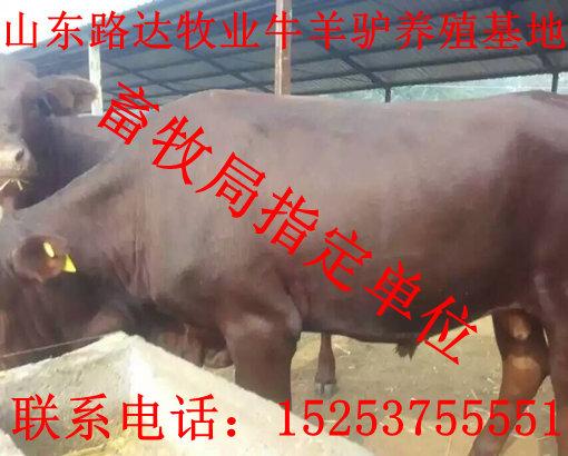 肉杂交牛价格行情黄牛犊价格养牛基地黄牛犊报价
