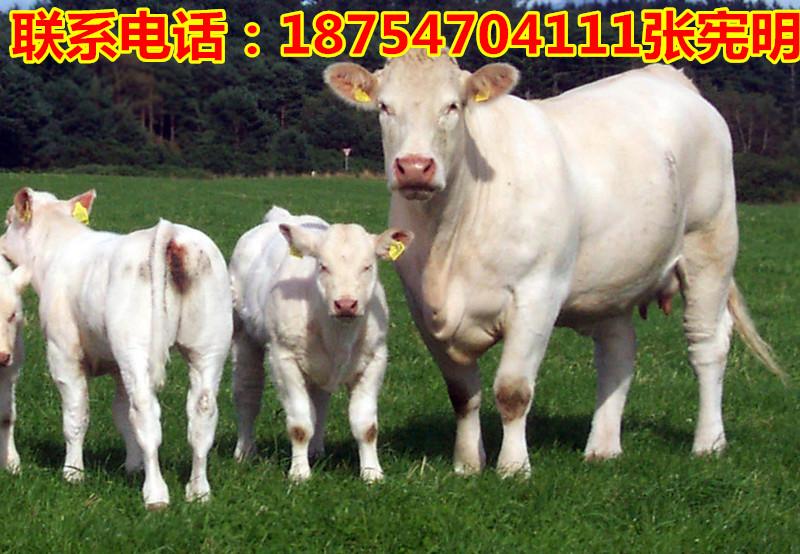 怀远县2017年牛犊价格双塔区300斤小