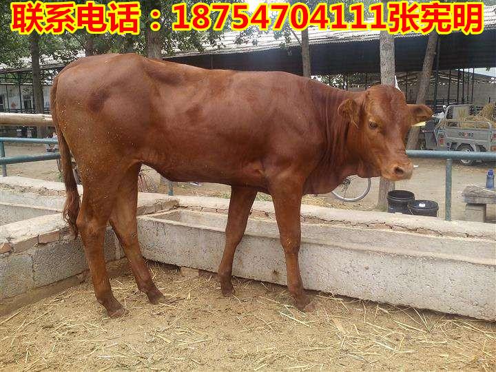 青冈县鲁西黄牛多少钱一头漯河牛仔多少钱一