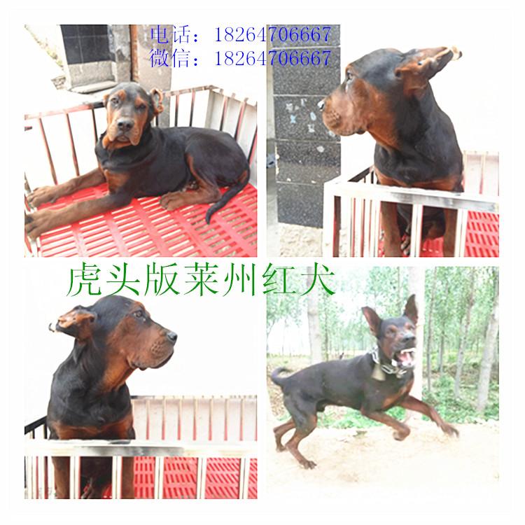 吕梁莱州红犬价格最新莱州红犬价格牧羊犬养殖基地牧羊犬多少钱莱州红犬养殖场