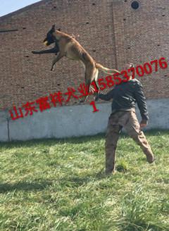 东溪镇什么地方出售马犬一对马犬多少钱马犬繁育基地马犬价格