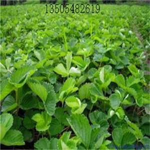 德州红颜草莓苗***低价供应高质量