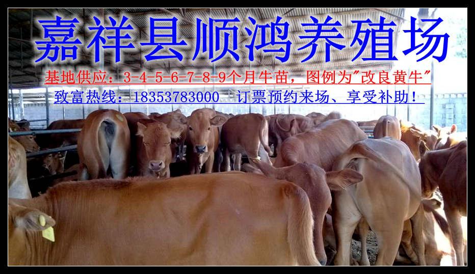 青海海东地区大型养牛场