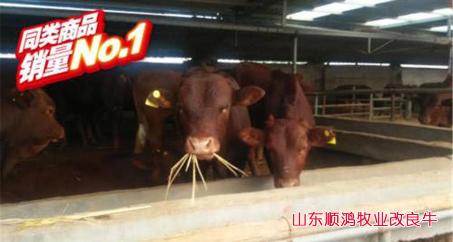坡頭區大型黃牛養殖場