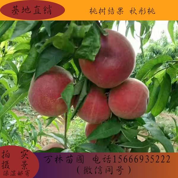 朔州阳丰柿子苗哪里有