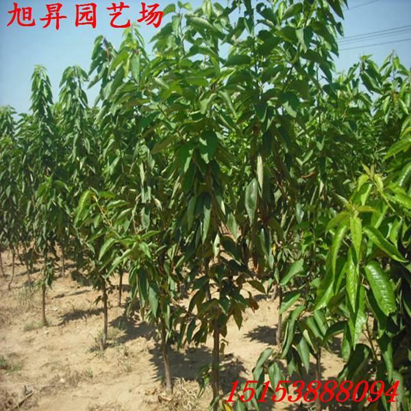 丹东晚红珠樱桃树一亩产量多少_泰安开发区旭