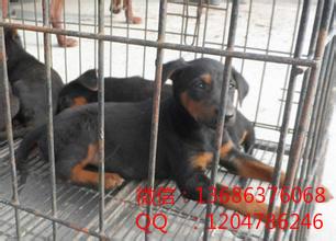 揭阳市莱州红犬怎么喂马犬什么地方有卖马犬马犬价格