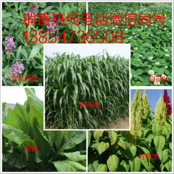 新疆和田喂牛选择什么牧草好草坪种子牧草种子护坡种子
