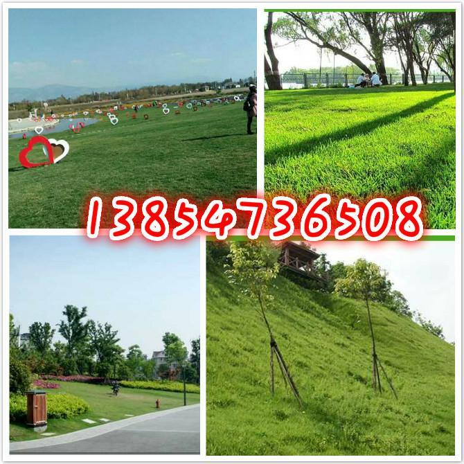 青海海北藏族种哪个牧草种子养羊好草坪种子护坡种子