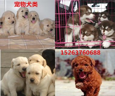 哪里有卖纯种狼狗幼崽的的韶关纯种德牧幼崽多少钱一只牧羊犬幼崽价格黑狼幼犬价格纯种狼狗价格