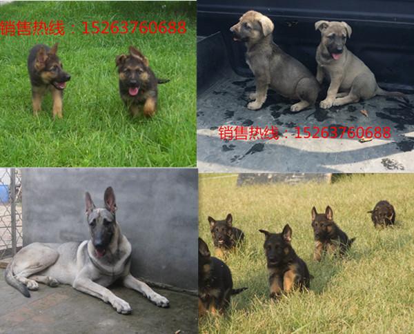 哪里有卖纯种狼狗幼崽的的怀化纯种德牧幼崽多少钱一只牧羊犬幼崽价格黑狼幼犬价格纯种狼狗价格
