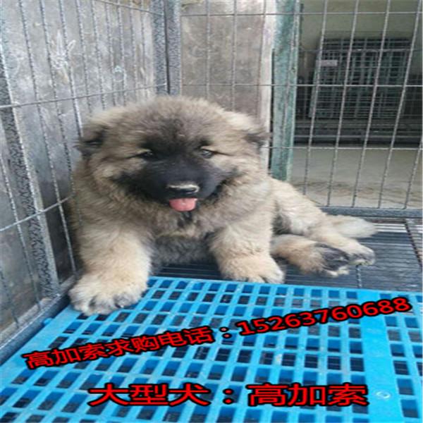 黑背犬养殖场资阳哪里可以买到纯种德牧黑背黑狼幼犬价格纯种狼狗价格牧羊犬幼崽价格
