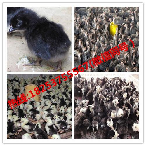 承德县哪里卖的小香猪质量好且便宜成年贵妃鸡批发价格珍珠鸡的价格五黑鸡苗的价格