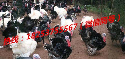 鹰手营子矿区香猪纯种巴马香猪多少钱一只脱温火鸡苗多少钱一只成年贵妃鸡批发价格绿壳鸡蛋的批发价格
