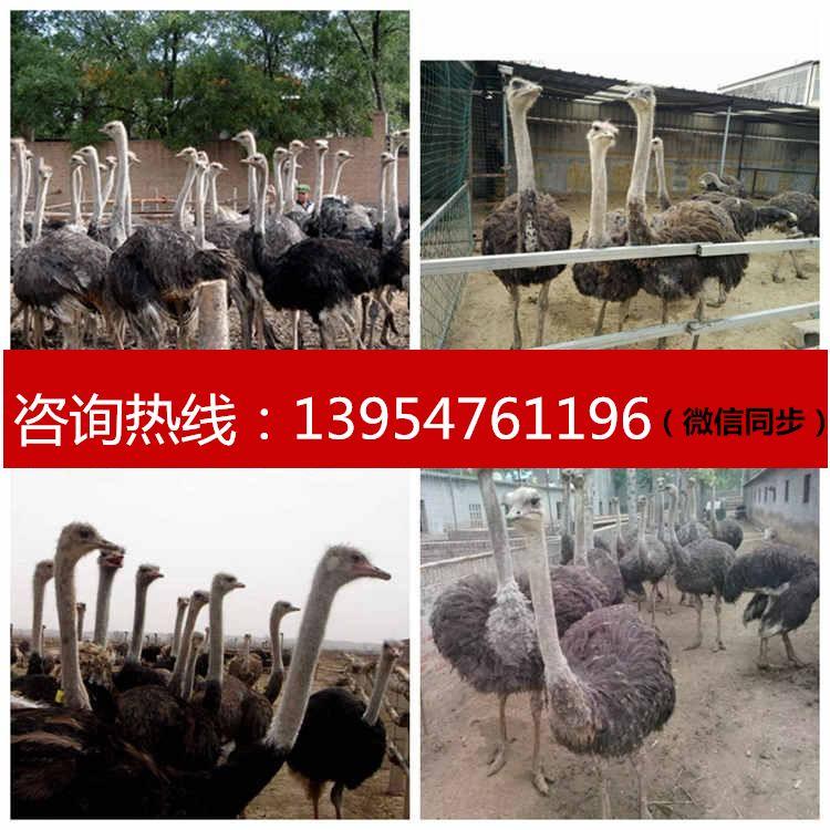 沂州哪里賣四角羊孔雀駱駝矮馬羊駝駱駝多少錢