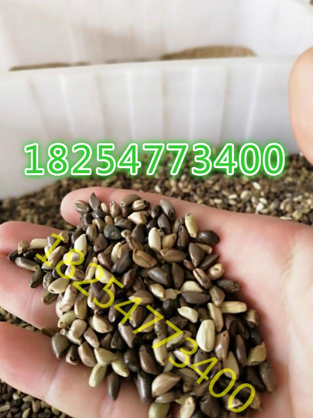 绿色的草坪种子哪有卖的什么护坡草籽耐寒高羊毛草籽多少钱一斤广西草坪种子
