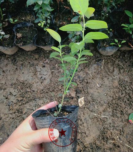 奥扎克蓝蓝莓苗、奥扎克蓝蓝莓苗价格绿宝石蓝莓苗珠宝蓝莓苗