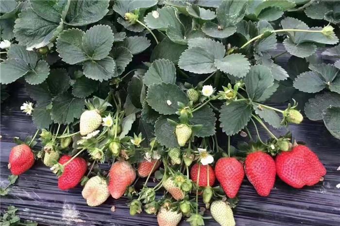 广西来宾奶油草莓苗出售