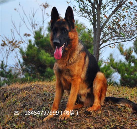 虞城批发莱州红犬怎么看年龄图