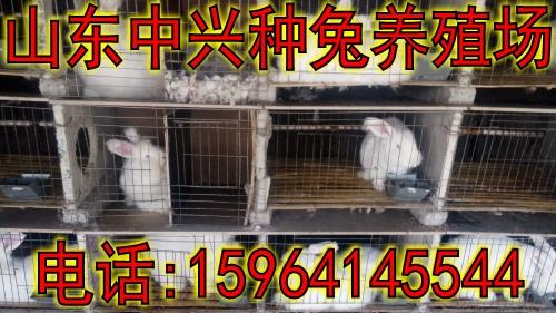 济宁市养殖长毛兔养100只要投资多少钱