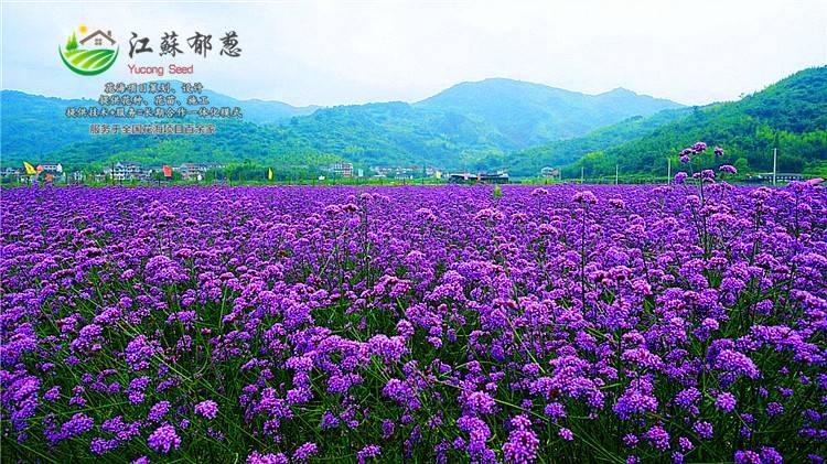 野花组合种子-南京市野花组合种子价格