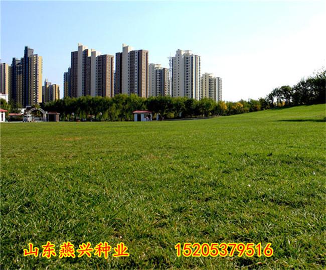 云南紅河州護坡的草籽多少錢一斤