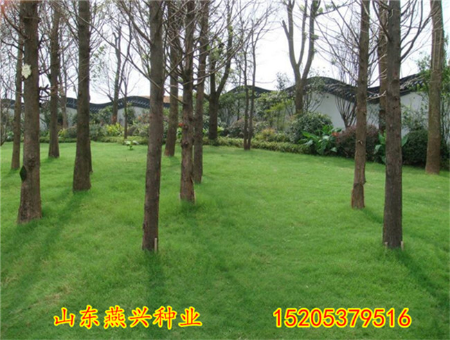 西藏昌都地區護坡四季青草籽有哪些