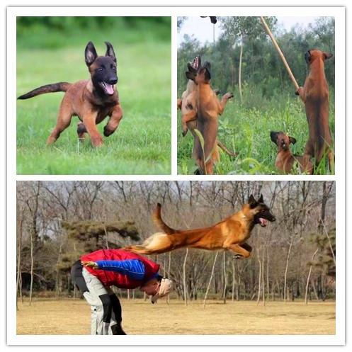 400纯种年马犬多少钱