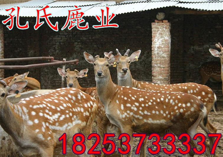 五買幾頭鹿汶上新鮮鹿肉賣