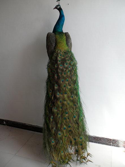 浚县孔雀的主要品种