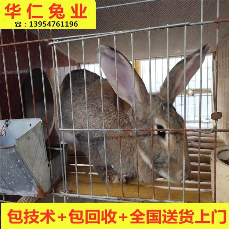 保定哪里批发出售肉兔苗 大型肉兔养殖场