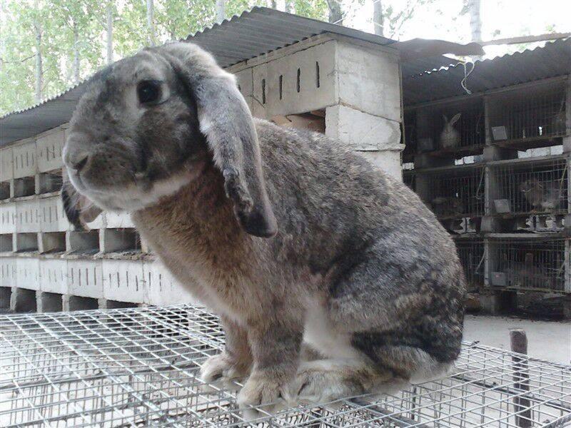 家养肉兔子多少钱一只多少钱报价