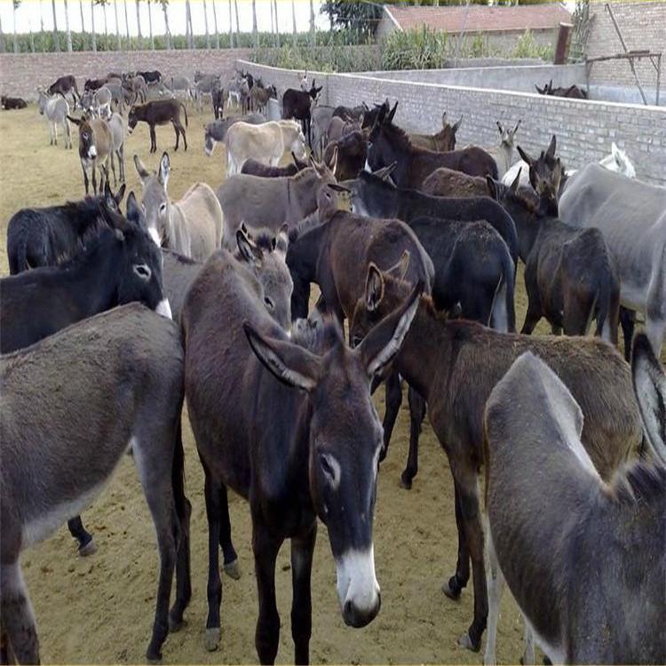 德州驢苗批發 小驢苗肉驢批發 供應優良 華北驢苗批發